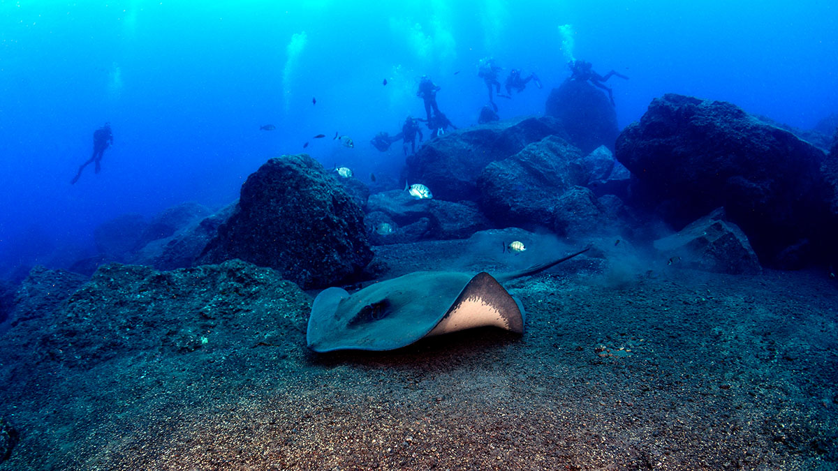 Sting ray underwater diving Funchal